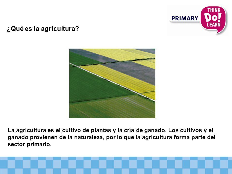 ¿Qué es la agricultura.La agricultura es el cultivo de plantas y la cría de ganado.