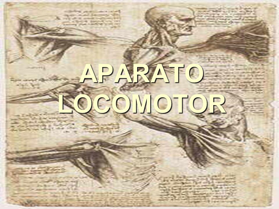 DEFINICIÓN: APARATO LOCOMOTOR ► El aparato locomotor agrupa una serie de estructuras, órganos y sistemas (huesos, articulaciones y músculos) ► Su función es dar soporte y protección al organismo y posibilitar sus desplazamientos.