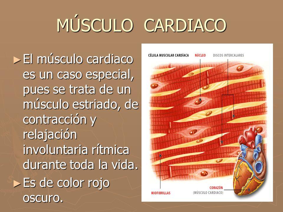 MÚSCULO CARDIACO ► El músculo cardiaco es un caso especial, pues se trata de un músculo estriado, de contracción y relajación involuntaria rítmica dur