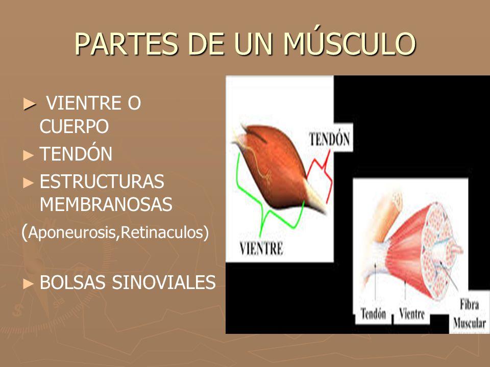 TENDONES ► Los tendones son cordones resistentes de tejido conectivo que insertan cada extremo del músculo al hueso.