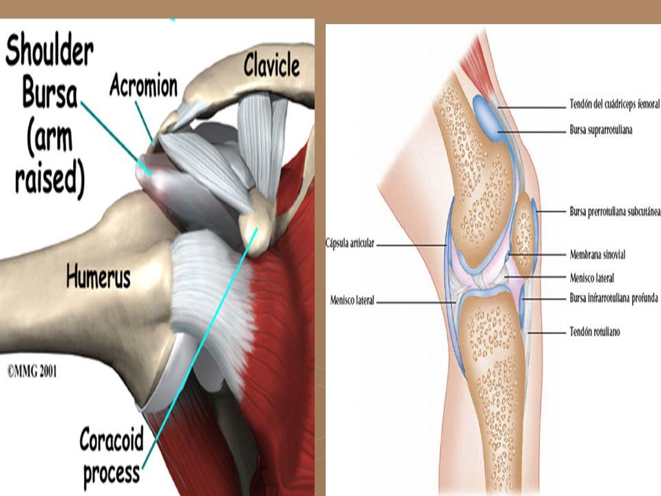 MÚSCULOS SEGÚN ASPECTO SÉGÚN FORMA PLANOS DE HUSO Recto del abdomen Bíceps SÉGÚN TAMAÑO CORTOS GRANDES Interoseos del metacarpo Dorsal de la espalda Grosor Longitud Cuadriceps
