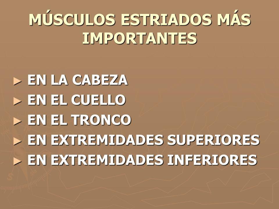 MÚSCULOS ESTRIADOS MÁS IMPORTANTES ► EN LA CABEZA ► EN EL CUELLO ► EN EL TRONCO ► EN EXTREMIDADES SUPERIORES ► EN EXTREMIDADES INFERIORES
