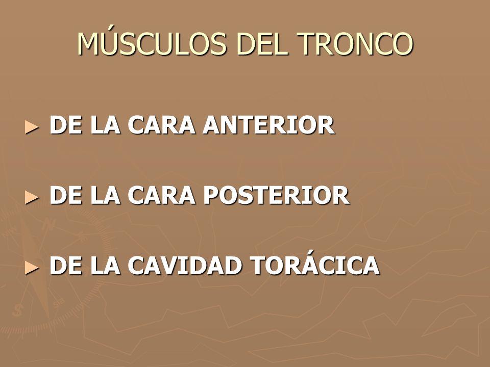 MÚSCULOS DEL TRONCO ► DE LA CARA ANTERIOR ► DE LA CARA POSTERIOR ► DE LA CAVIDAD TORÁCICA