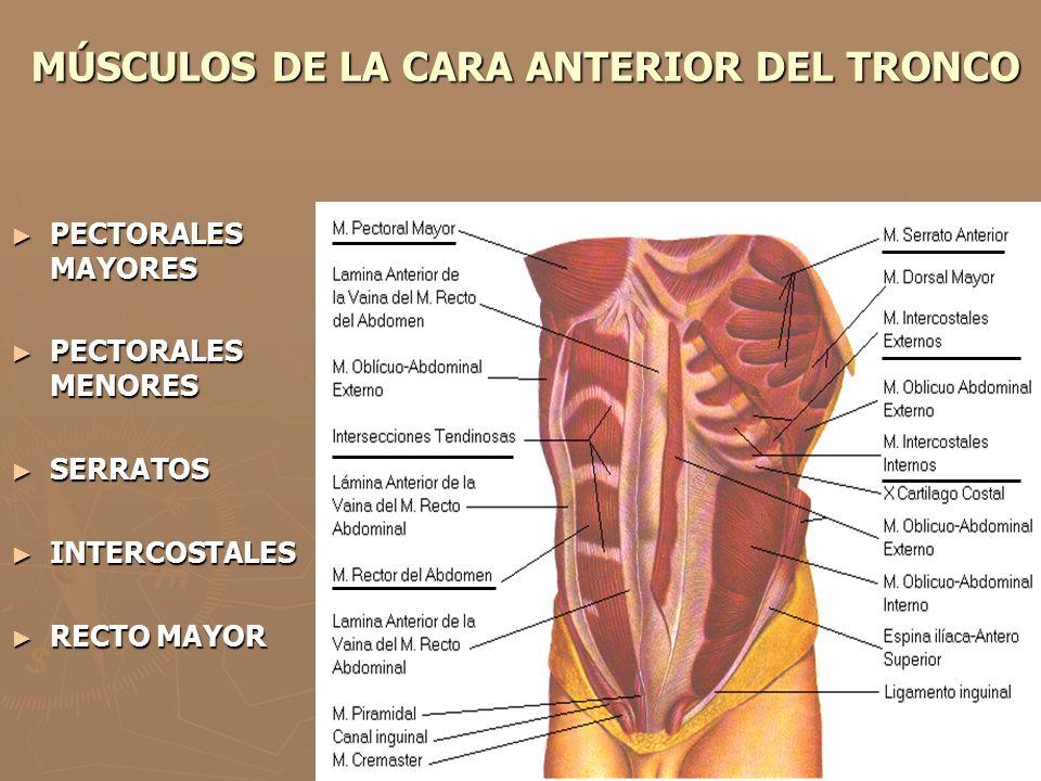 MÚSCULOS DE LA CARA ANTERIOR DEL TRONCO ► PECTORALES MAYORES ► PECTORALES MENORES ► SERRATOS ► INTERCOSTALES ► RECTO MAYOR