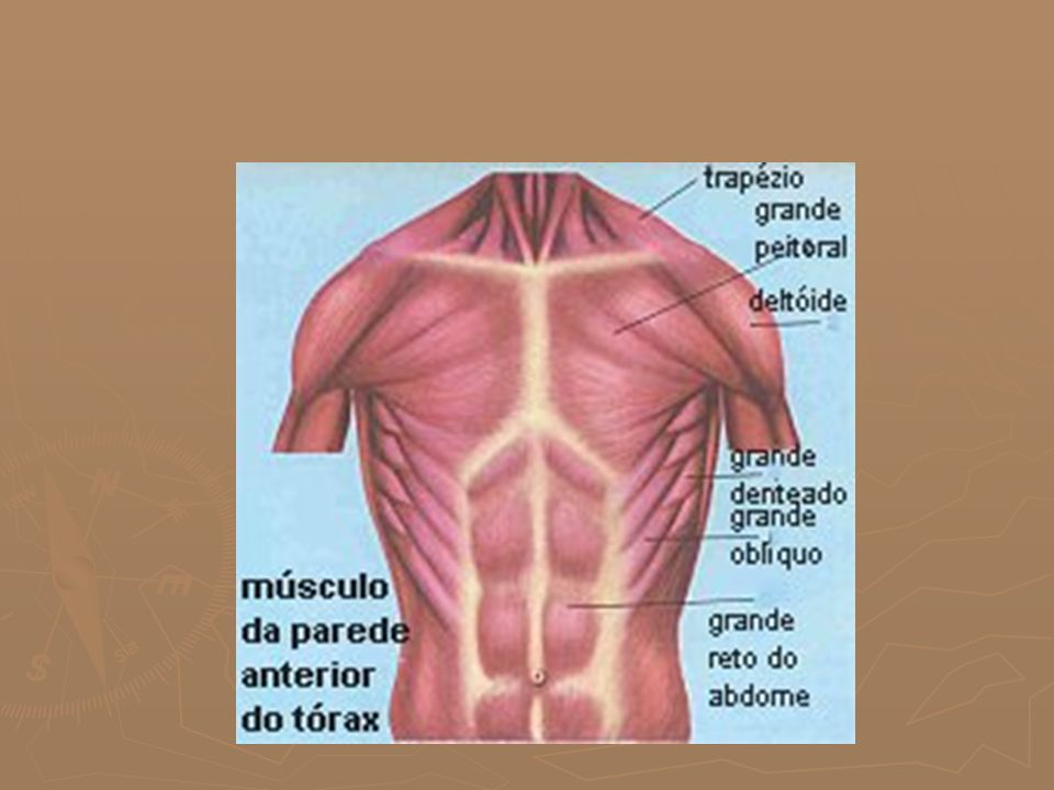 MÚSCULOS DE LA CARA POSTERIOR DEL TRONCO ► TRAPECIOS: Eleva el hombro ► DORSAL ANCHO: Eleva los brazos por detrás