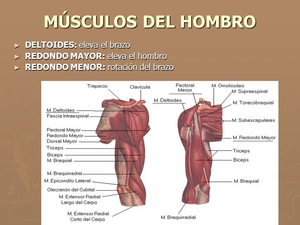 MÚSCULOS DEL BRAZO ► BICEPS BRAQUIAL Y BRAQUIAL ANTERIOR: flexión del brazo ► TRICEPS BRAQUIAL: extensión del brazo