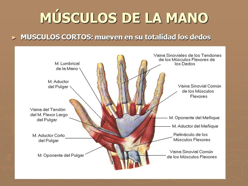 MÚSCULOS DE LA MANO ► MUSCULOS CORTOS: mueven en su totalidad los dedos