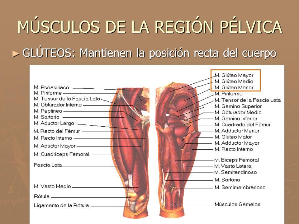 MÚSCULOS DE LA REGIÓN PÉLVICA ► GLÚTEOS: Mantienen la posición recta del cuerpo