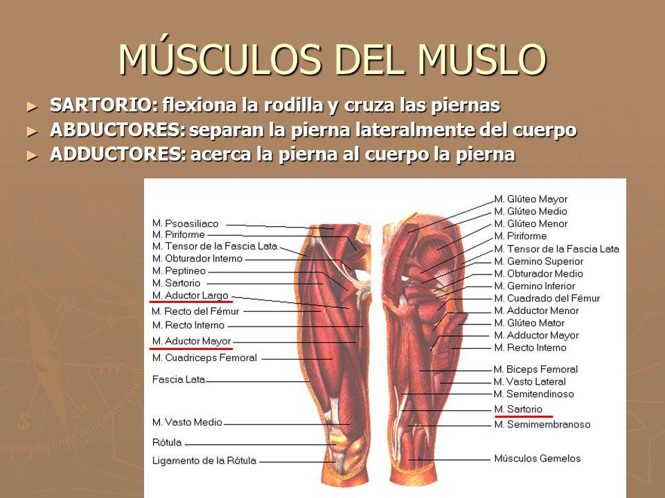 MÚSCULOS DEL MUSLO ► SARTORIO: flexiona la rodilla y cruza las piernas ► ABDUCTORES: separan la pierna lateralmente del cuerpo ► ADDUCTORES: acerca la