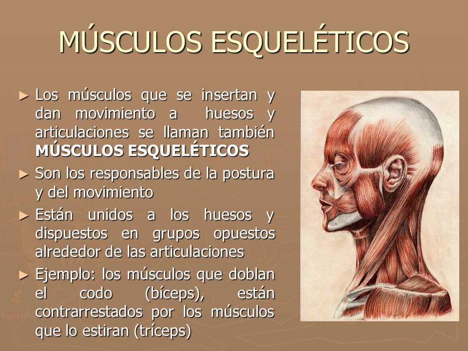 MÚSCULOS ESQUELÉTICOS ► Los músculos que se insertan y dan movimiento a huesos y articulaciones se llaman también MÚSCULOS ESQUELÉTICOS ► Son los resp
