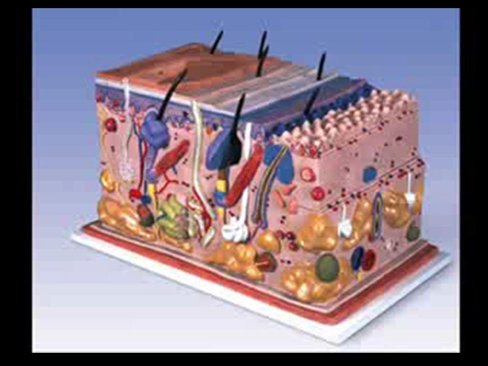 DERMIS Es la capa de la piel sobre la cual descansa la epidermis; también se denomina corion.