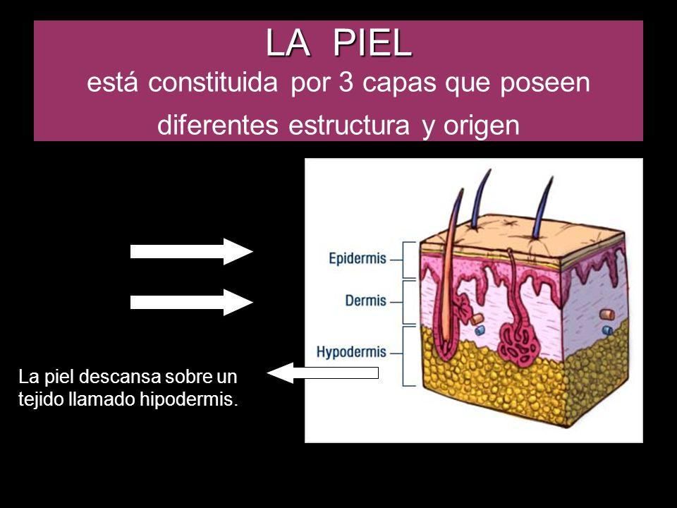 DERMIS RETICULAR La dermis reticular es la más gruesa y está situada debajo de la papilar, donde las fibras colágenas se entretejen con otros haces fibrosos (elásticos y reticulares) formando una red; esta capa representa el verdadero lecho fibroso de la dermis.
