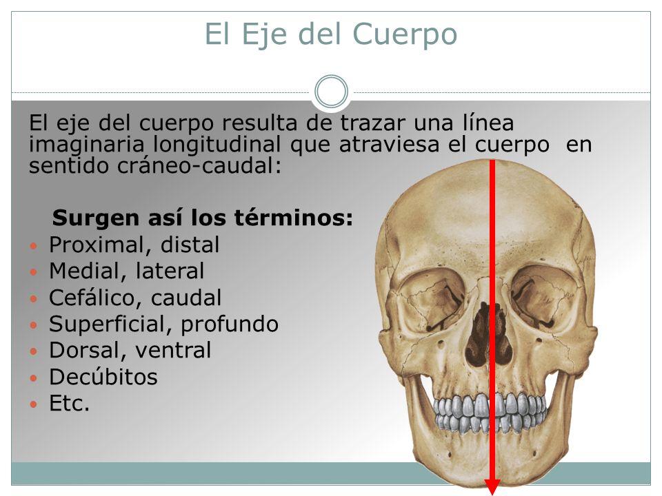 El Eje del Cuerpo El eje del cuerpo resulta de trazar una línea imaginaria longitudinal que atraviesa el cuerpo en sentido cráneo-caudal: Surgen así los términos: Proximal, distal Medial, lateral Cefálico, caudal Superficial, profundo Dorsal, ventral Decúbitos Etc.