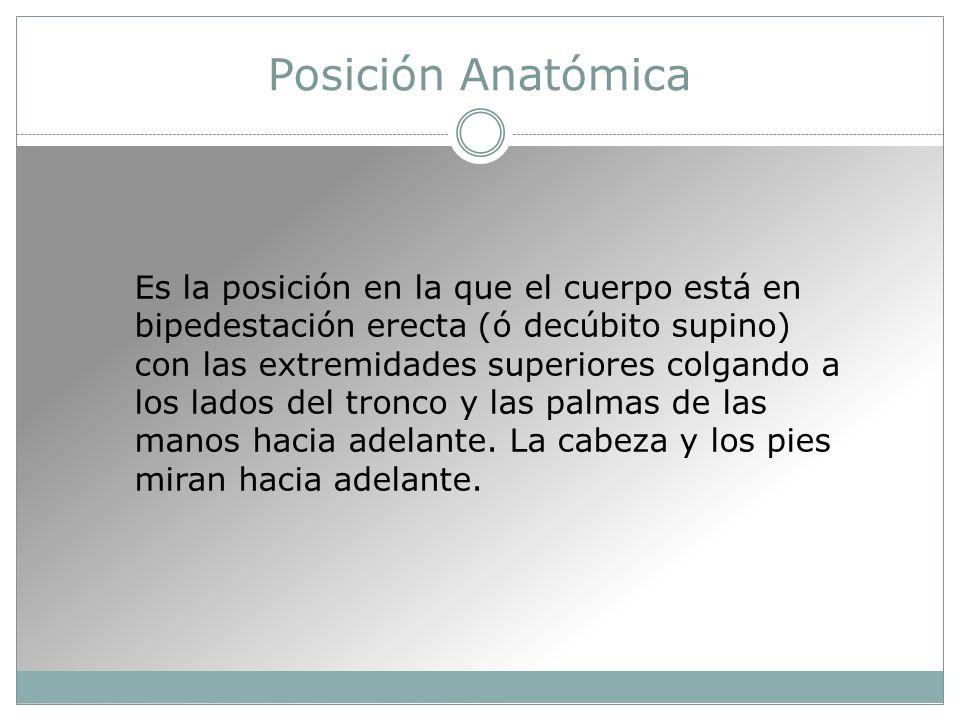 Posición Anatómica Es la posición en la que el cuerpo está en bipedestación erecta (ó decúbito supino) con las extremidades superiores colgando a los lados del tronco y las palmas de las manos hacia adelante.