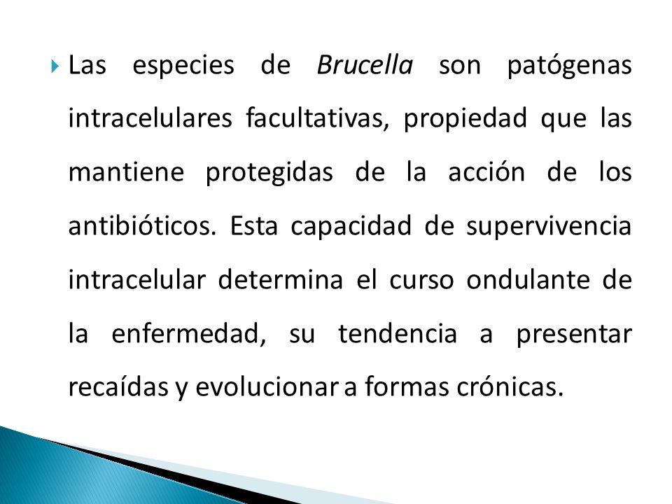  Las especies de Brucella son patógenas intracelulares facultativas, propiedad que las mantiene protegidas de la acción de los antibióticos.