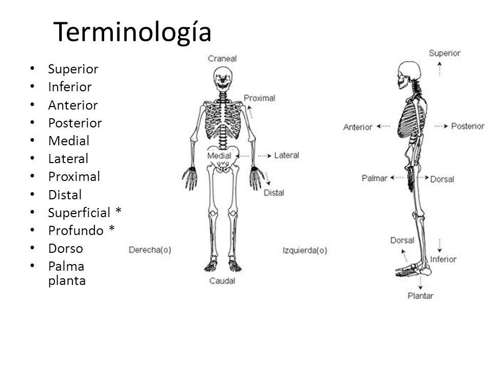 Terminología Superior Inferior Anterior Posterior Medial Lateral Proximal Distal Superficial * Profundo * Dorso Palma planta