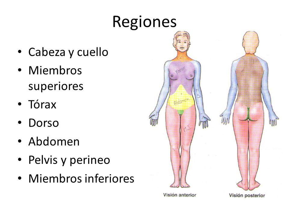 Regiones Cabeza y cuello Miembros superiores Tórax Dorso Abdomen Pelvis y perineo Miembros inferiores