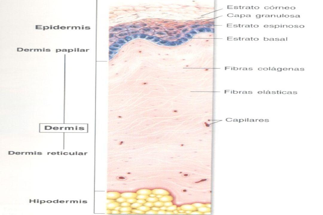 Generalidades en Dermatología  - Anexos de piel: folículos pilosos, glándula sudorípara ecrina y apocrina y las uñas.