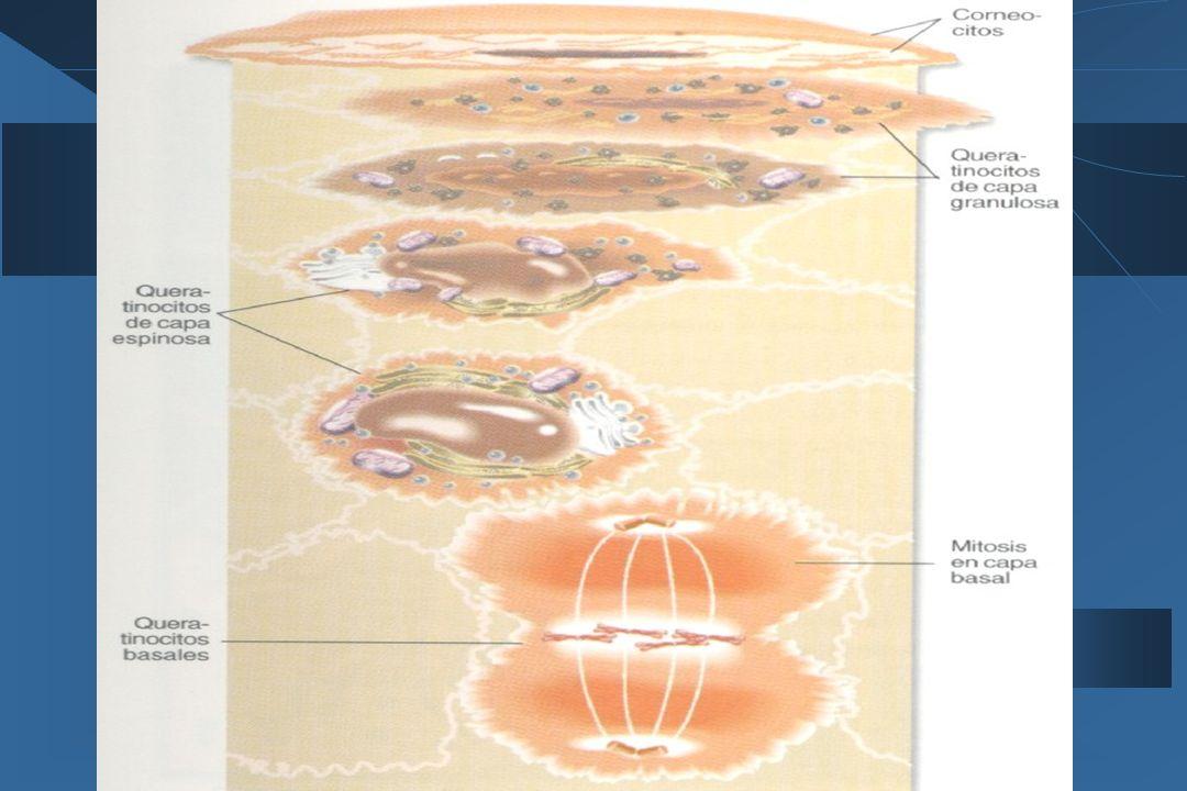 Generalidades en Dermatología  Posee 3 segmentos:  Infundíbulo piloso que va desde la apertura exterior y la salida de la glándula.