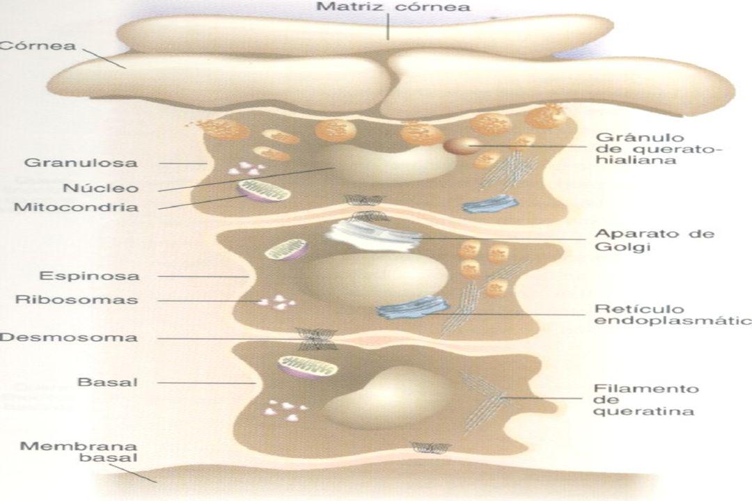 Generalidades en Dermatología  Vasculatura de la piel  Plexo vascular profundo, vasos rectos, plexo vascular superficial.