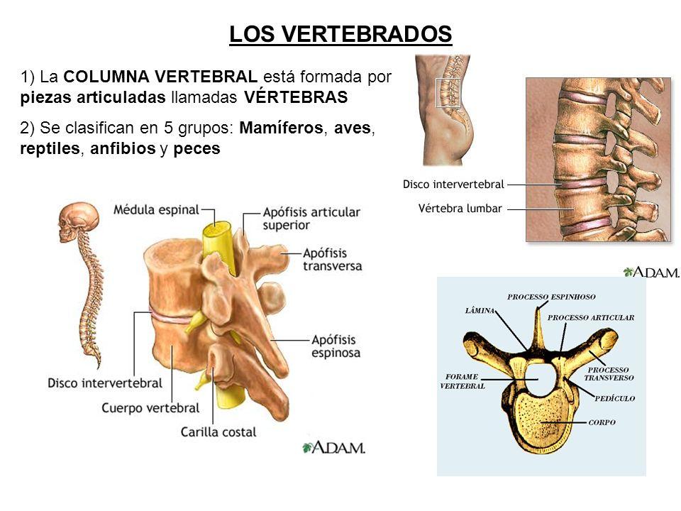CARACTERÍSTICAS DEL REINO ANIMAL 1) Son PLURICELULARES: Están ...