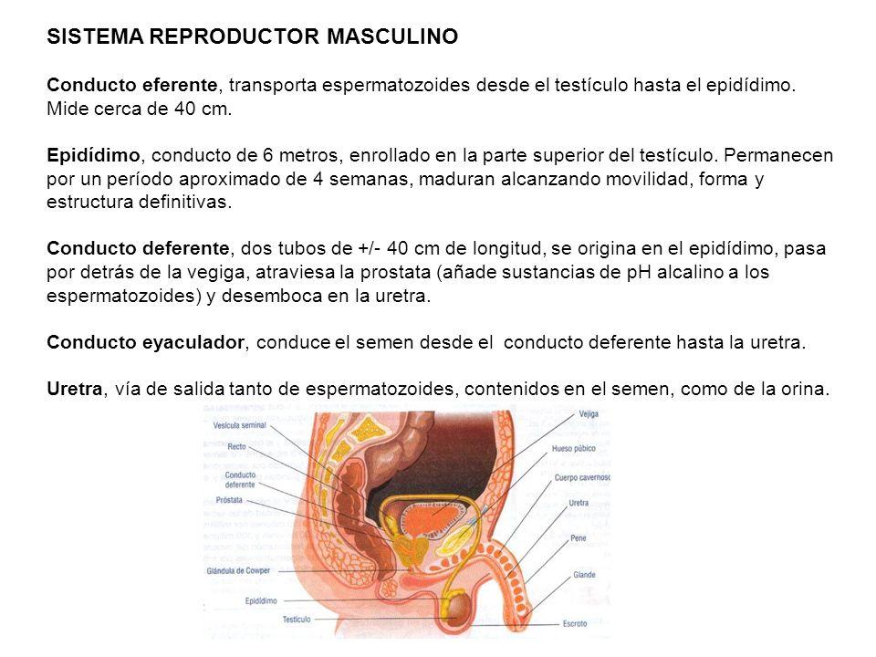 SISTEMA REPRODUCTOR MASCULINO Se halla formado por los: - Testículos ...