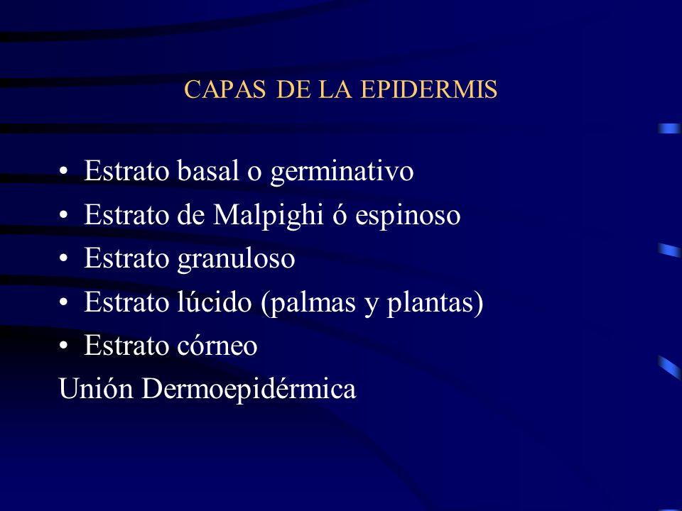 EPIDERMIS Varias capas de células que forman en conjunto un epitelio poliestratificado Todas las células proceden de una sola hilera de células llamad