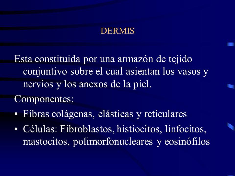 CAPAS DE LA EPIDERMIS Estrato basal o germinativo Estrato de Malpighi ó espinoso Estrato granuloso Estrato lúcido (palmas y plantas) Estrato córneo Unión Dermoepidérmica