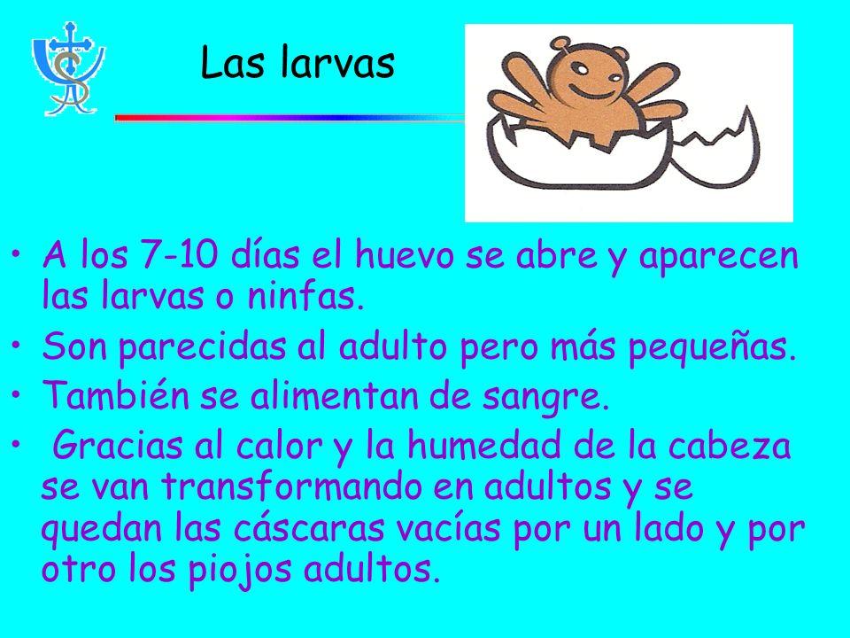 Las larvas A los 7-10 días el huevo se abre y aparecen las larvas o ninfas.