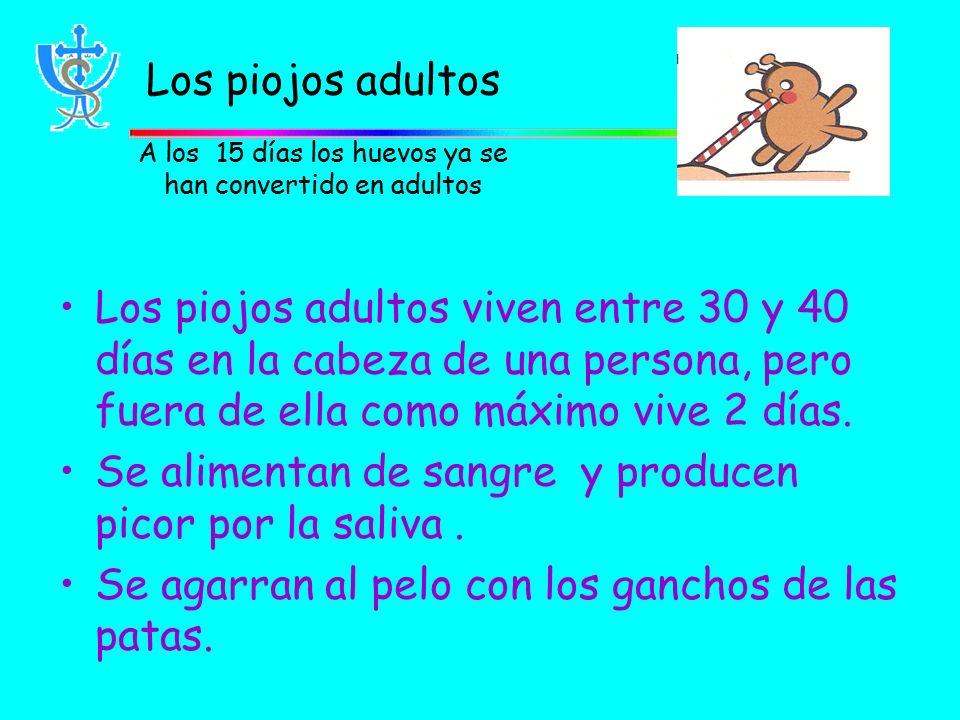 Los piojos adultos A los 15 días los huevos ya se han convertido en adultos Los piojos adultos viven entre 30 y 40 días en la cabeza de una persona, pero fuera de ella como máximo vive 2 días.