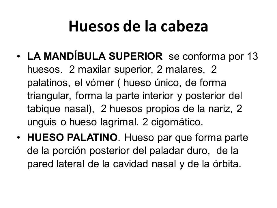 Huesos de la cabeza LA MANDÍBULA SUPERIOR se conforma por 13 huesos.