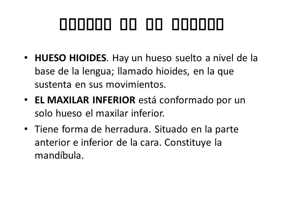 Huesos de la cabeza HUESO HIOIDES.