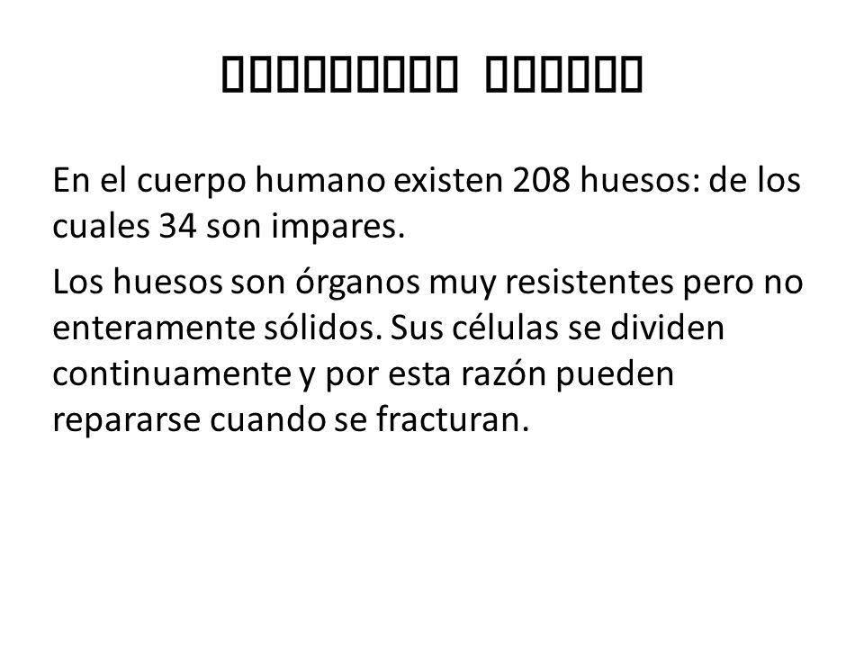 Esqueleto Humano En el cuerpo humano existen 208 huesos: de los cuales 34 son impares.