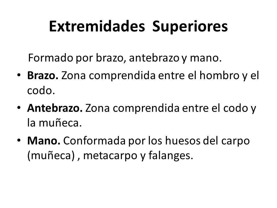 Extremidades Superiores Formado por brazo, antebrazo y mano.