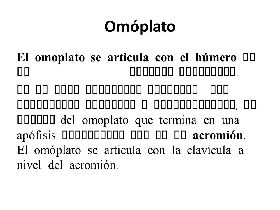 Omóplato El omoplato se articula con el húmero en la cavidad glenoidea.