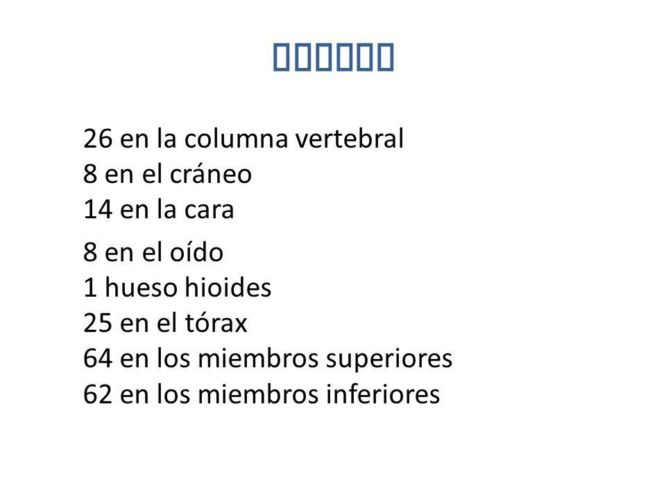 Huesos 26 en la columna vertebral 8 en el cráneo 14 en la cara 8 en el oído 1 hueso hioides 25 en el tórax 64 en los miembros superiores 62 en los miembros inferiores
