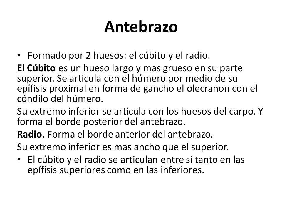 Antebrazo Formado por 2 huesos: el cúbito y el radio.