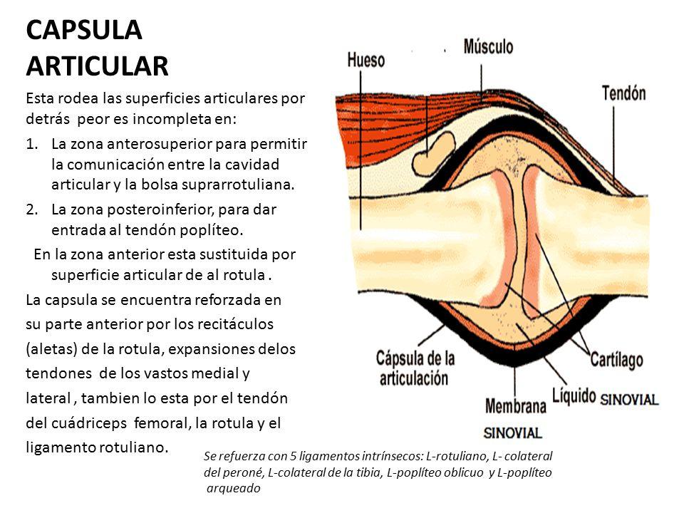Excelente Anatomía Bolsa Suprarrotuliana Fotos - Imágenes de ...