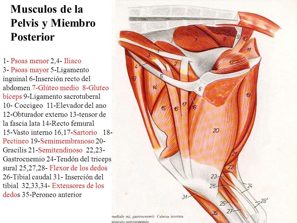 Encantador Músculos De La Pelvis Anatomía Imágenes - Imágenes de ...