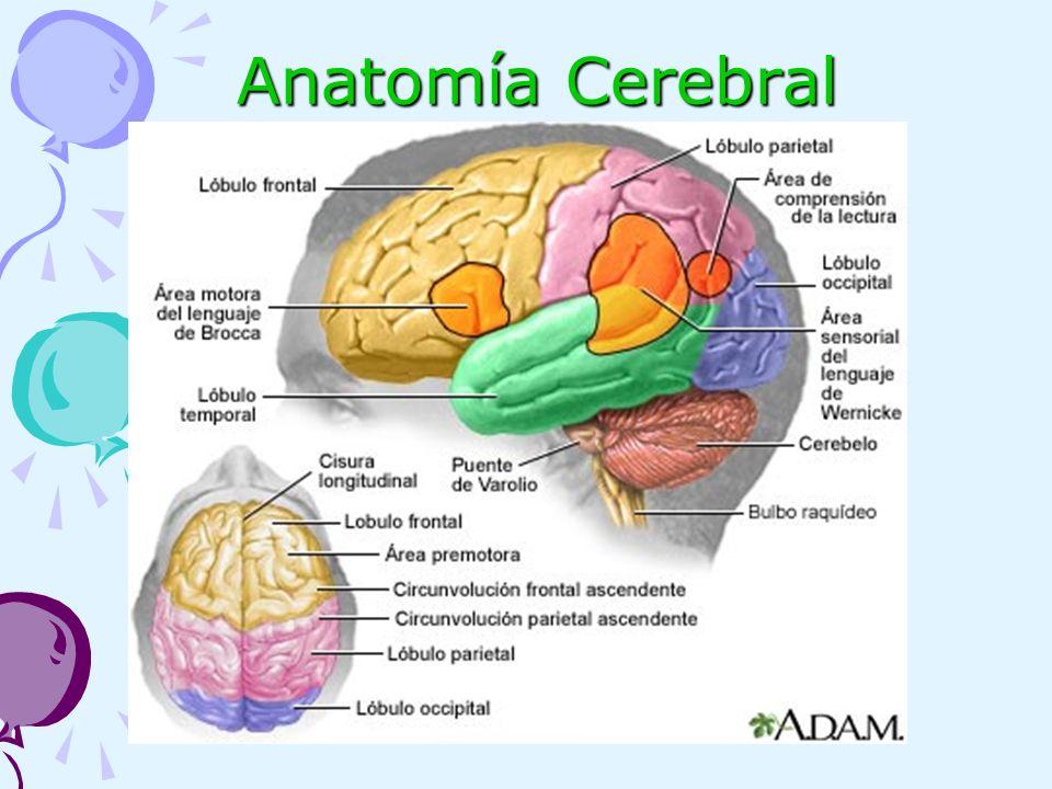 Moderno Por Supuesto La Anatomía Del Cerebro Patrón - Anatomía de ...