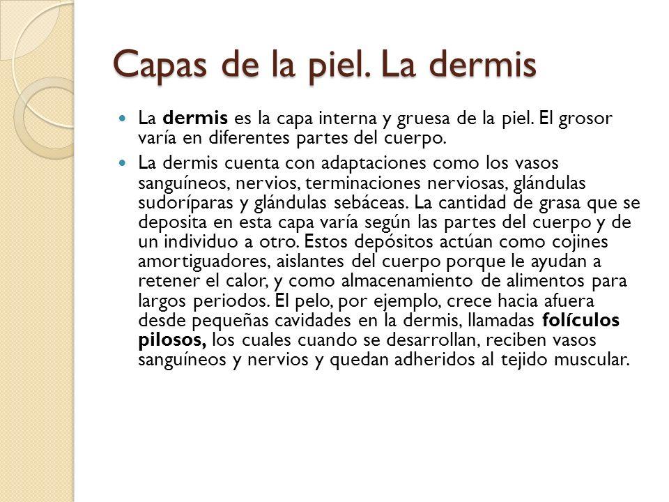 Capas de la piel. La dermis La dermis es la capa interna y gruesa de la piel.