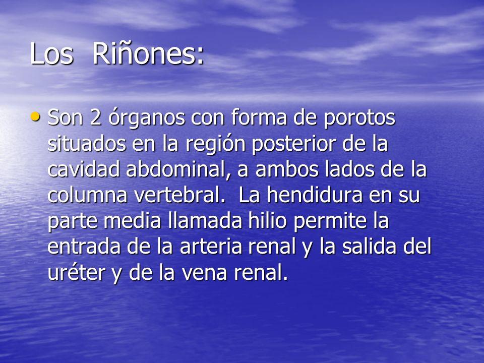 Los Riñones: Son 2 órganos con forma de porotos situados en la región posterior de la cavidad abdominal, a ambos lados de la columna vertebral.