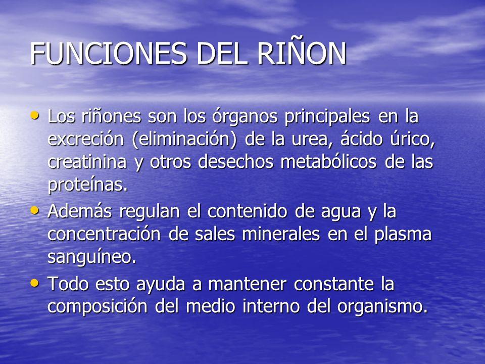 FUNCIONES DEL RIÑON Los riñones son los órganos principales en la excreción (eliminación) de la urea, ácido úrico, creatinina y otros desechos metabólicos de las proteínas.
