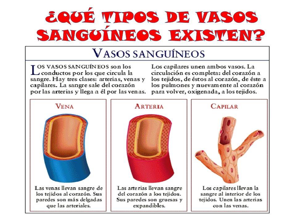 Fantástico Vs Arterias Venas Ideas - Imágenes de Anatomía Humana ...