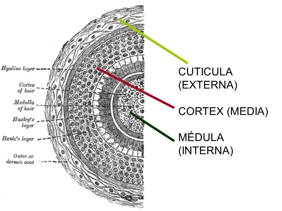 CUTICULA (EXTERNA) CORTEX (MEDIA) MÉDULA (INTERNA)