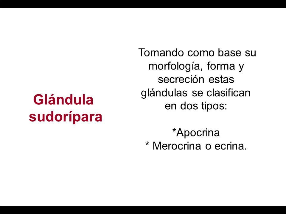 Tomando como base su morfología, forma y secreción estas glándulas se clasifican en dos tipos: *Apocrina * Merocrina o ecrina.