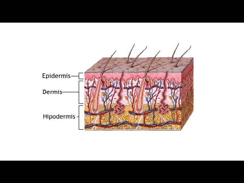 La piel se compone también de: * Folículos pilosos * Glándulas sudoríparas * Glándulas sebáceas * Órganos digitales como casco y uñas * Una amplia variedad de glándulas especializadas (glándulas mamarias)