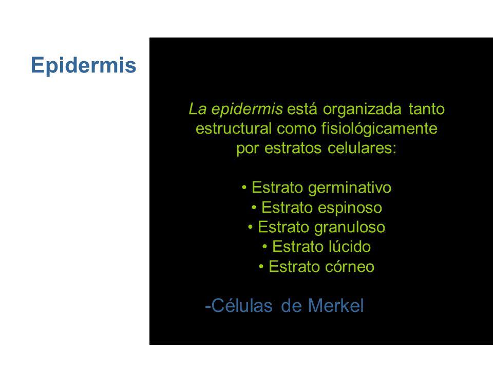 Epidermis Este epitelio estratificado presenta 4 tipos de células: -Queratinocitos -Melanocitos -Células de Langerhans -Células de Merkel La epidermis está organizada tanto estructural como fisiológicamente por estratos celulares: Estrato germinativo Estrato espinoso Estrato granuloso Estrato lúcido Estrato córneo