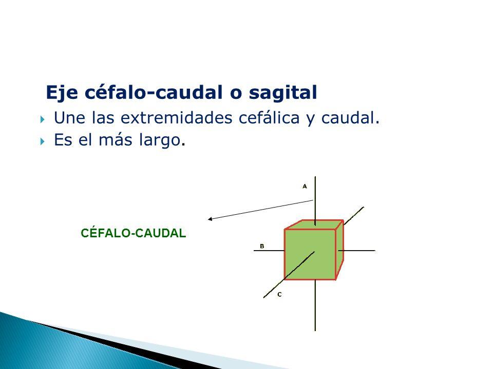 Eje céfalo-caudal o sagital  Une las extremidades cefálica y caudal.