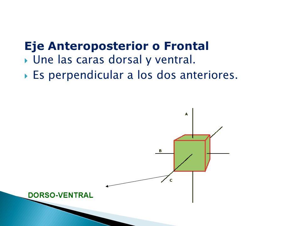 Eje Anteroposterior o Frontal  Une las caras dorsal y ventral.